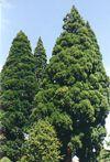John Porter - Giant Sequoias (Sequoiadendron giganteum) at the Hillsboro county courthouse