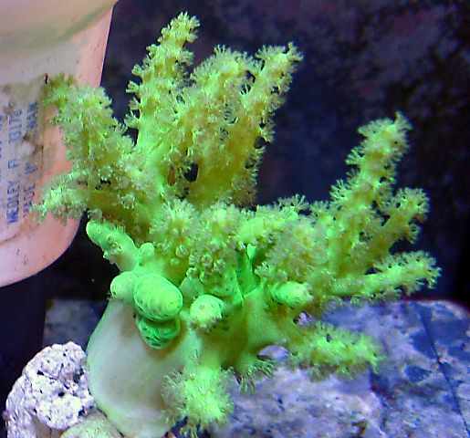 Aquacultured Neon Green Nepthea Leather Live Coral for Sale