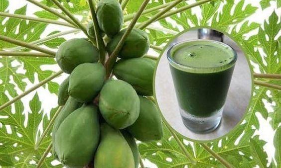 Las hojas de papaya se han utilizado en los últimos años en el tratamiento de numerosas enfermedades como el dengue, la malaria y la fiebre tifoidea. Estas hojas son muy útiles en el tratamiento del cáncer. Esto es debido aque contienen fitonutrientes que son antioxidantes muy activos que pueden combatir los radicales libres de manera …
