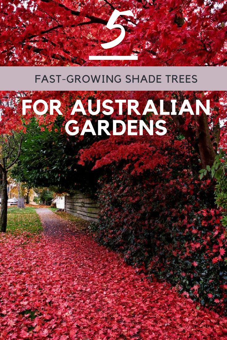 5 Fast Growing Shade Trees Australia Fast Growing Shade Trees Shade Trees Fast Growing Trees