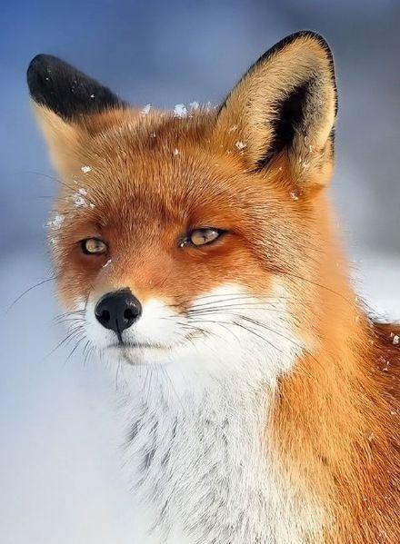 #elegant #fox