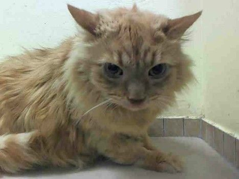 Senior cat surrendered to NY kill shelter: No time for 'Lookie'
