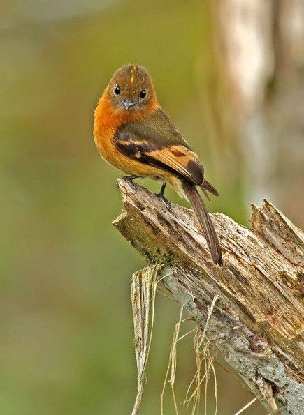 The Cinnamon Flycatcher (Pyrrhomyias cinnamomeus) is a species of bird in the Tyrannidae family. It is the only member of the genus Pyrrhomyias.  It is found in Argentina, Bolivia, Colombia, Ecuador, Peru, and Venezuela.