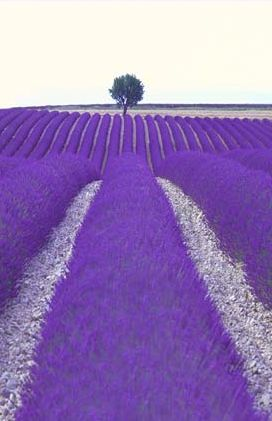 Choose bee friendly plants like lavender for your garden
