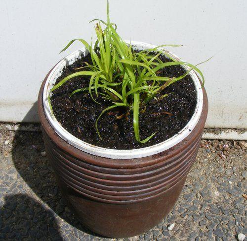 Zyperngras (Cyperus alternifolius ) vermehren | jK's Pflanzenblog