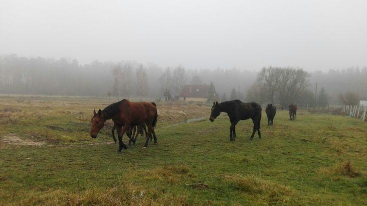 Village life. Poland. Morning fog. Horses