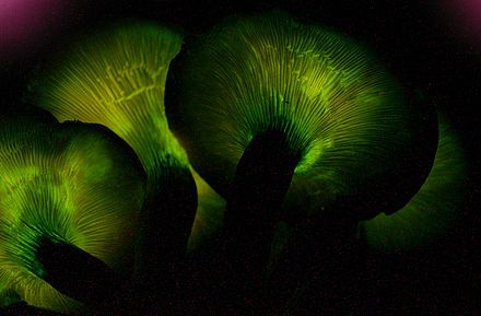 Omphalotus olearius - jack-o- lantern mushroom -  has gills that glow in the dark, and is orange in daylight.