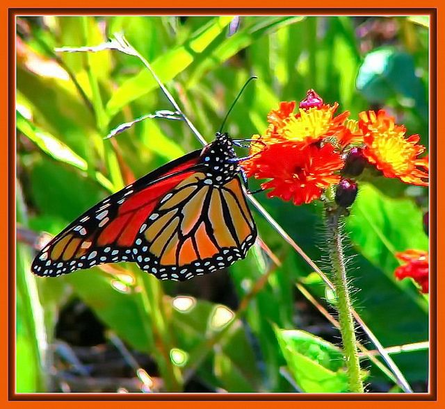 MONARCH BUTTERFLY  [Danaus plexippus]  This is probably the best known of all butterflies. Bright orange with wide black borders, black veins with white spotting, it is indeed a beauty. I photographed this one on the north shore of Lake Superior, ON. photo by RNB