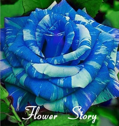 20 Blue Dragon Rose Seeds ,Rare beautiful stripe rose bush plant,garden or yard flower - Hespirides Gifts