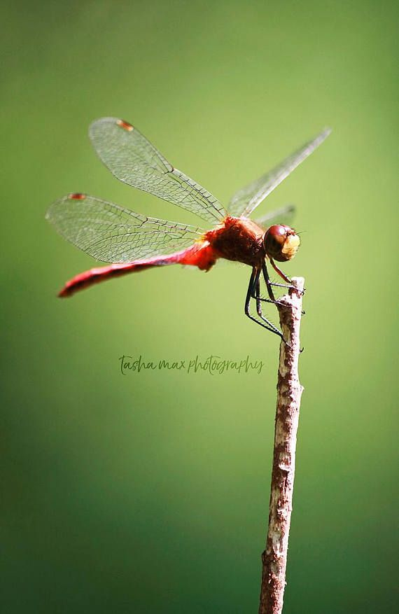Welcome to my shop! This photo was taken August, 2010 during a hike on the Chuckery Trail, Cascade Valley Metro Park. ☼☼☼☼☼☼☼☼☼☼  Title: Red Meadowhawk Dragonfly Sizes: There are various sizes available in the drop down menu on the right hand side. If there is a specific size that I havent made available, please contact me to discuss what size you would like and pricing options. Printing Process: Prints will be processed through a professional photo lab on premium quality paper. You can…