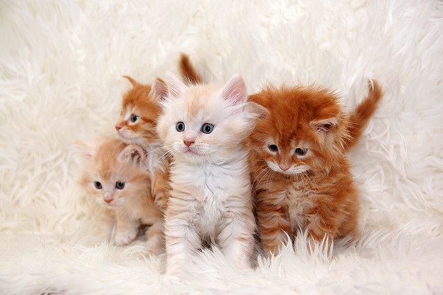 four little red cats maine coon