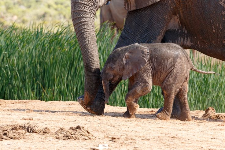Tiny Baby Elephant  Addo Elephant National Park is a diverse wildlife conservation park situated close to Port Elizabeth in South Africa and is one of the country's 19 national parks.