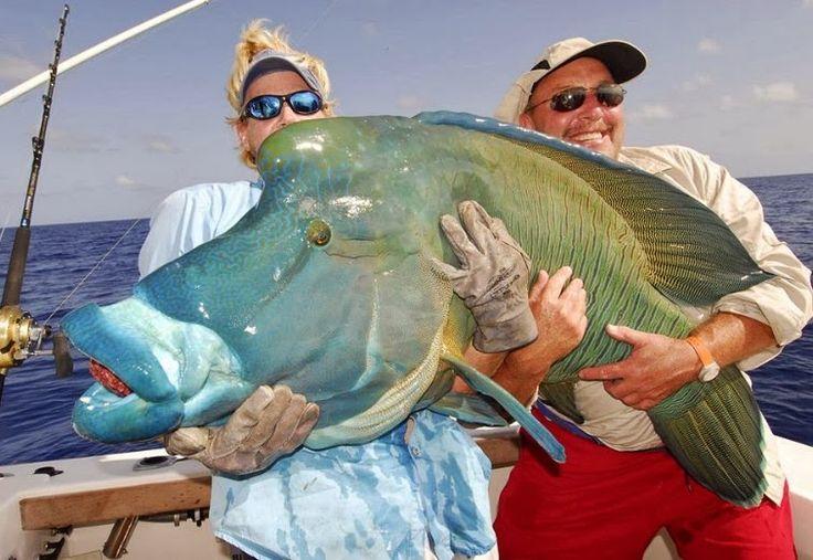 fish MAORI WRASSE  Cheilinus undulatus  pesce napoleone world record    World Record Saltwater Fish
