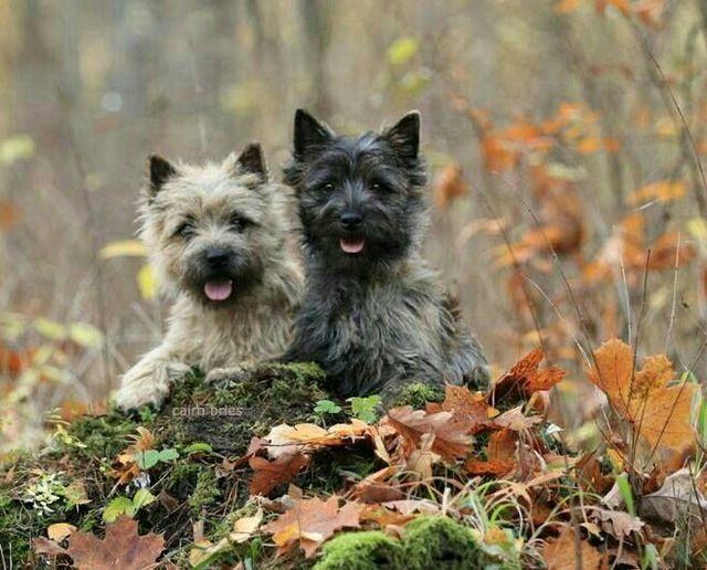 Pin By Derek Helm On Furr Otious Cairn Terrier Puppies Cairn