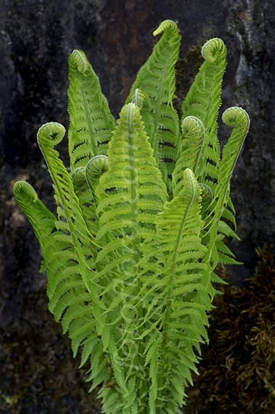 Ostrich Fern…beautiful and the fiddleheads are edible!! I have colonies of these. They reach close to four feet in height. In the spring you can almost see them grow.