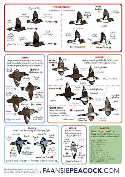 South African Seabirds by Faansie Peacock p3