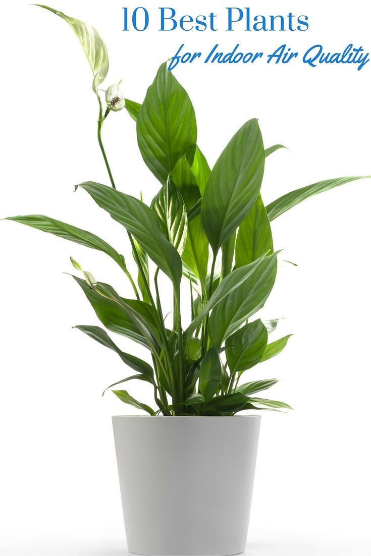 10 Best Plants for Indoor Air Quality - the best plants to improve air quality inside