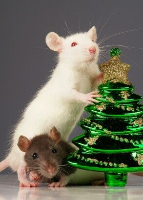 132 best Rats Love Christmas images on Pinterest | Mice, Rats and ...
