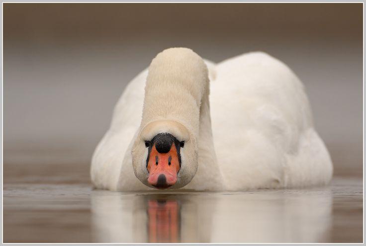 A swan wearing a fox mask!