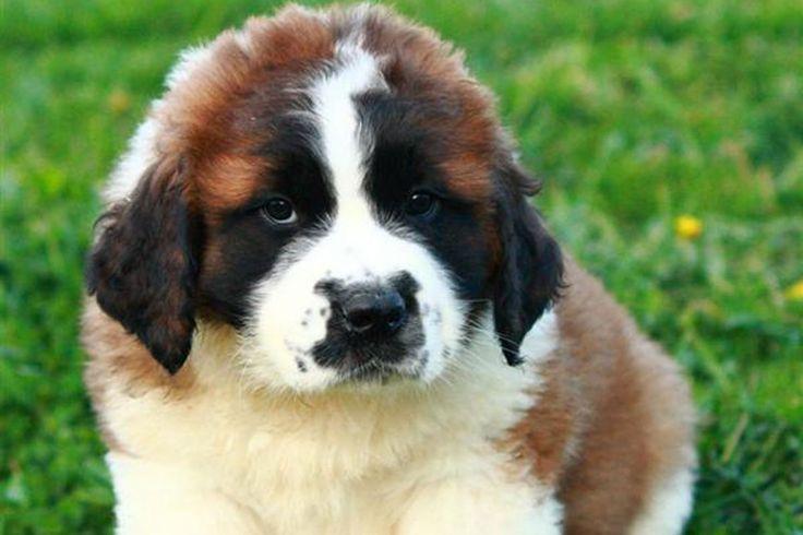 st bernard wallpaper | short-haired-st-bernard-puppies-saint-bernard-puppies-for-sale-dog ...