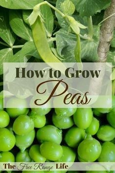 Learn how to grow peas at home. They are a simple, cool weather crop that is so much better grown fresh than what you can get at a store!