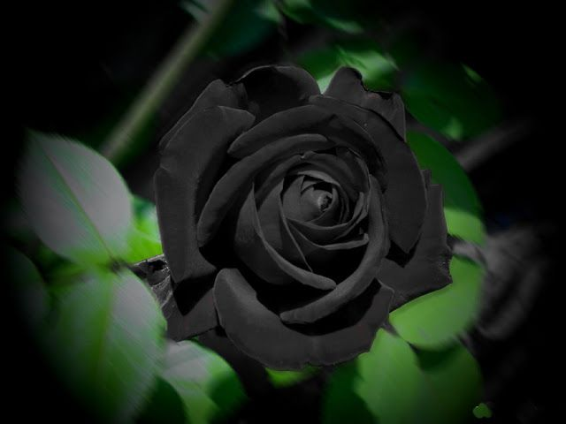 Black roses wallpaper 25 pinterest clonescriptnulldetop10tvfree download applicationgameshd wallpaper voltagebd Choice Image