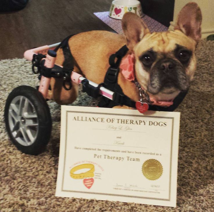 Kardi Is A 5 Year Old French Bulldog Who Suffers From Ivdd