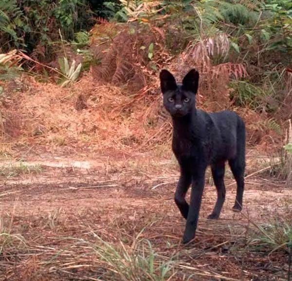 Quelle: fb 10.06.19 Back to Nature shared. Ein extrem seltener melanistischer Serv …   – Cats