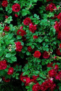 Don Juan Climbing Rose Dark Red Roses Best Deep Blood
