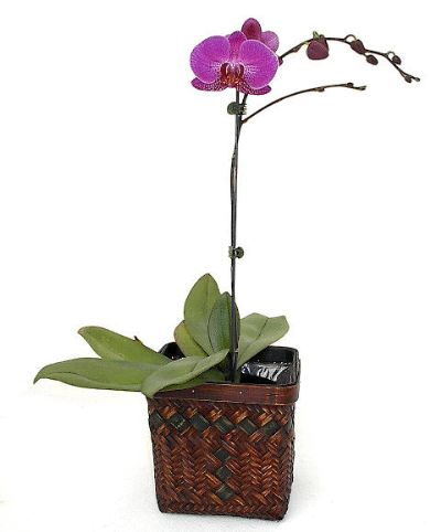 Phalaenopsis Orchid Care Easy and Clear Instructions