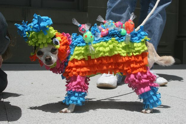 Dog Pinata costume. Happy Cinco de Mayo  I wanna do this to my dog!