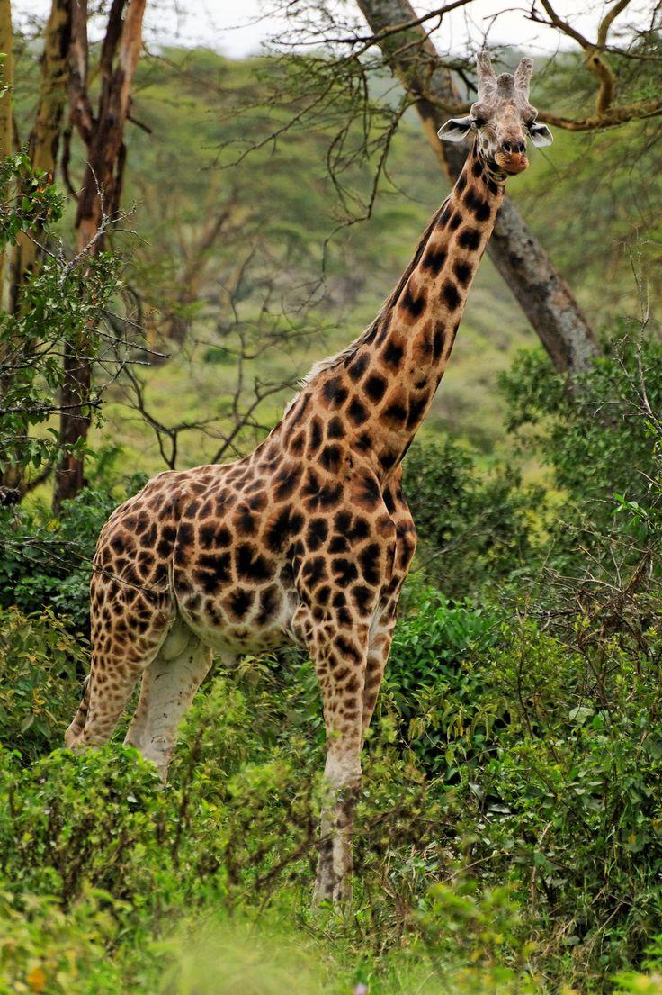 """Rothschild's Giraffe, Lake Nakuru NP"" by Fly Traveler on 500px ~ Rothchild's giraffe in Lake Nakuru National Park, Kenya."