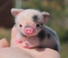How cute is this tiny piglet?!