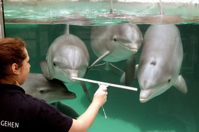 Watching the Window Washer: Dolphins at a zoo in Duiseburg, Germany. via wsj. Photo by Roland Weihrauch/Agence France-Presse/Getty Images #Dophins #Window_Washer #Germany #wsj #Roland_WeihrauchWindows Wash Germany, Animals, Windows Washer, Wsj Roland Weihrauch, Germany Wsj, France Presse Getty Image, Dolphins Watches, Roland Weihrauch Ag, Beautiful Creatures