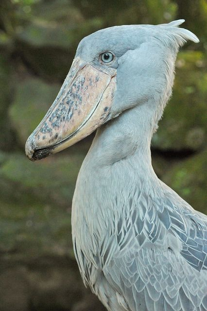 This bird is Balaeniceps rex, living in Africa