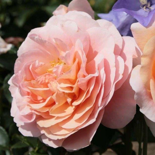Rosa Garden Of Roses - Joie De Vivre, Rosier nain, couvre sol, Obtention Kordes.