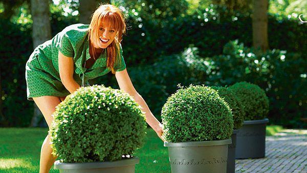 Jinak fádní příchozí cestu v zahradě můžeme jednoduše oživit buxusem, který zakoupíme v dekorativním kyblíku.