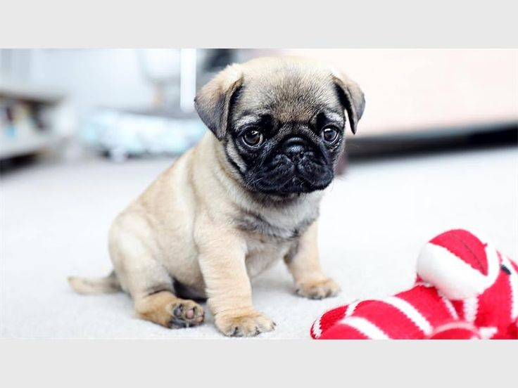 cheap pug puppies for sale 7 best dog images on pinterest cute dogs doggies and 3614