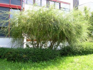 Buddleja alternifolia - Hänge-Sommerflieder Sol, 100-125 cm