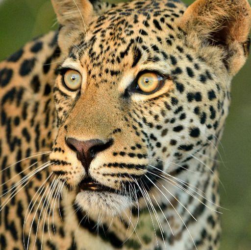 inXSWildlife logo - Magnificent Leopard Stare ©inXSWildlife #inxswildlife #wildlifephotography #leopard #bigfive #wildlife #krugernationalpark