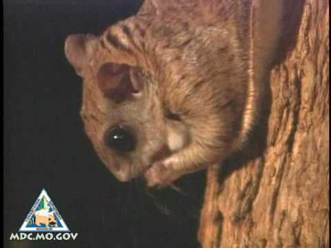 Flying Squirrels Video | Missouri Department of Conservation