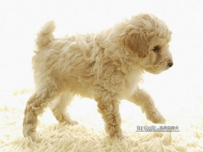 Lovable Toy Poodle Puppy, Curly Coat Miniature Poodle  - Wallcoo.net