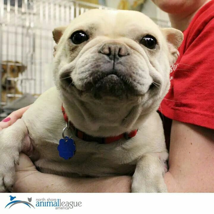 """I just got adopted"", please support the French Bulldog Rescues."
