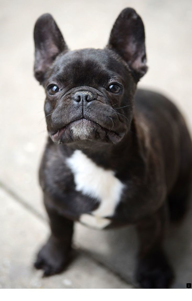 Read More About Pug Price Just Click On The Link For More Information Do Not Miss Our Web Pages Bulldog Breeds French Bulldog French Bulldog Breed