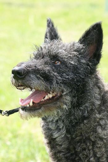 Sjaantje v.d. Passchin the black and gray wire-haired Dutch Shepherd is looking to the left with its mouth open and it looks like it is smiling