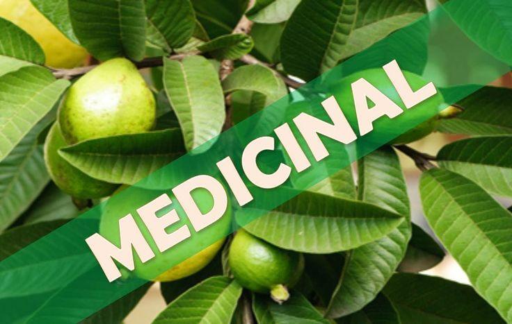 ☞ Té de hojas de guayaba beneficios de esta bebida - Combate el mal alie...