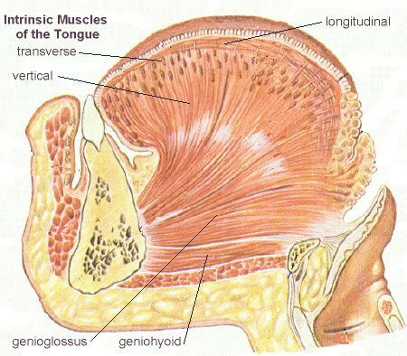 intrinsic muscles of the tongue