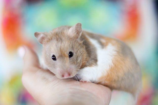 Saga Dove Tortoiseshell Banded SH Syrian hamster