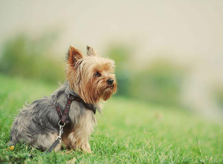Yorkshire Terrier im Rasseportrait