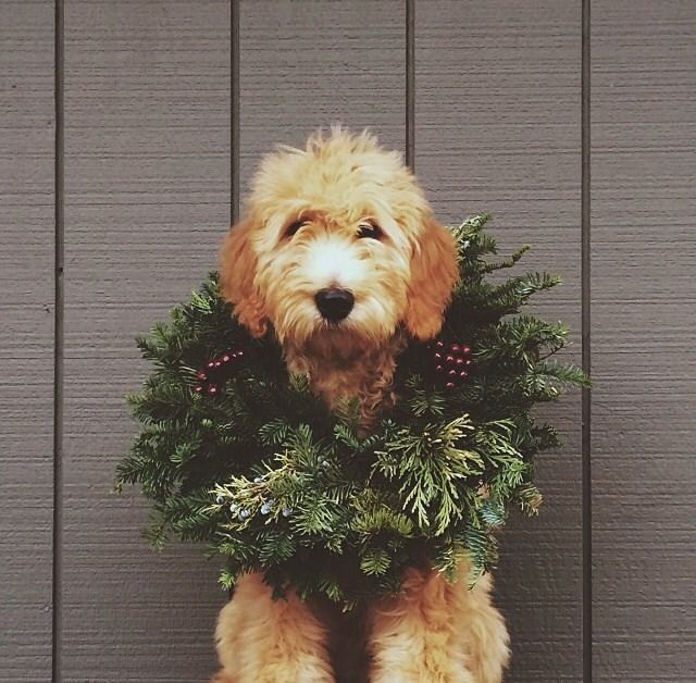 This pup is getting into the Christmas spirit!